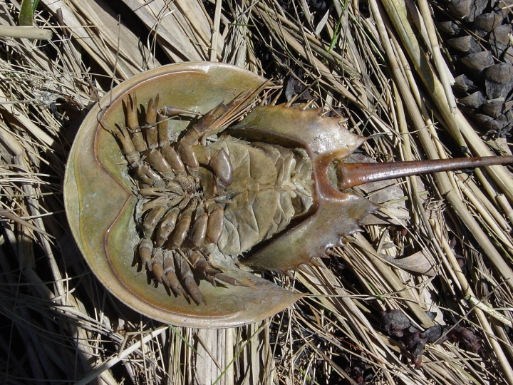 upsidedown horseshoe crab